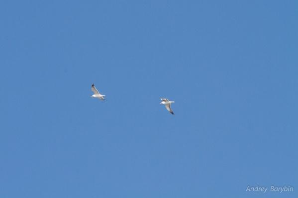 Чайки традиционно возвращаются в Омск в это время
