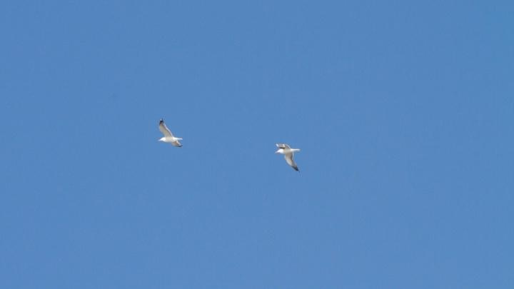В Омск вернулись чайки-хохотуньи