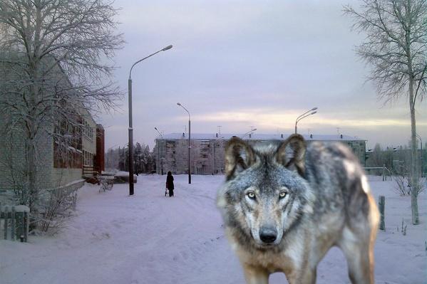 Волков видели в центре поселка
