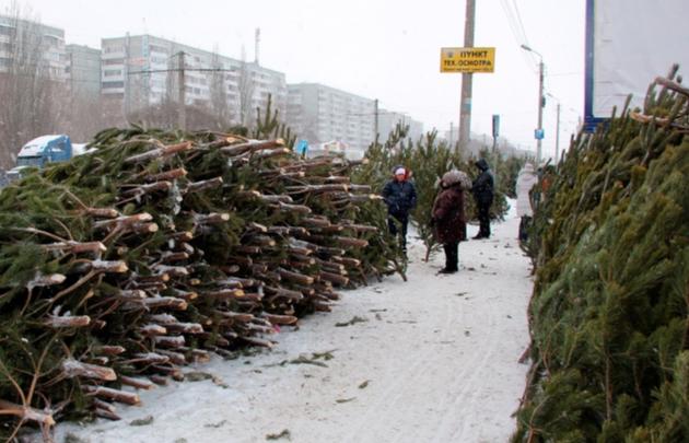 В этом году сосны и пихты на Новый год будут стоить от 400 рублей
