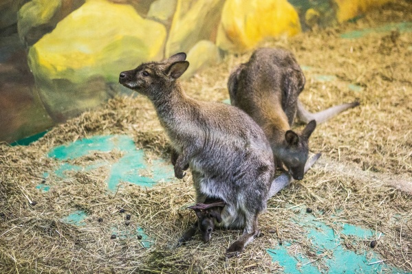 В Новосибирском зоопарке кенгуру Беннетта содержатся с 2007 года. Фото из архива НГС