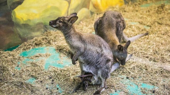 В Новосибирск привезли кенгурёнка из Ярославля