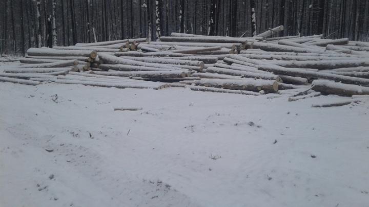 Лесорубы поверили начальнику и незаконно вырубили деревья на 150 тысяч