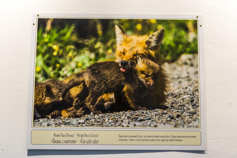 Самцы лисиц нередко усыновляют осиротевшее потомство