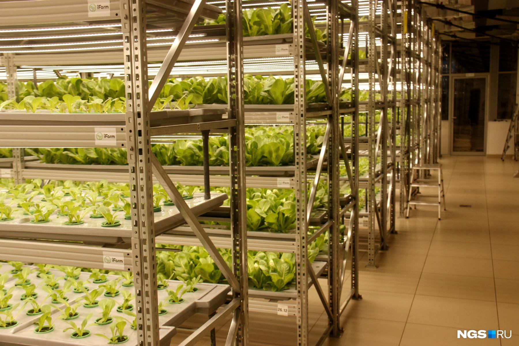 На площади 250 квадратных метров ежедневно созревает порядка 3500 горшочков с зеленью