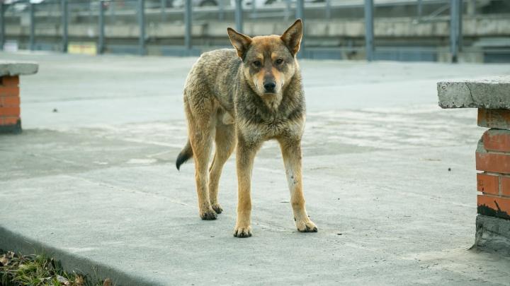 Покусанная бродячими собаками красноярка отсудила у мэрии 30 тысяч рублей
