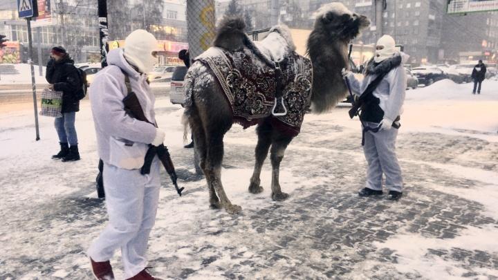 Люди с автоматами провели по центру Новосибирска верблюда в ковре