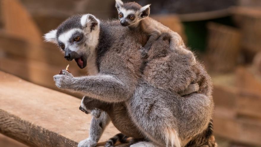 В ростовском зоопарке родились три лемура
