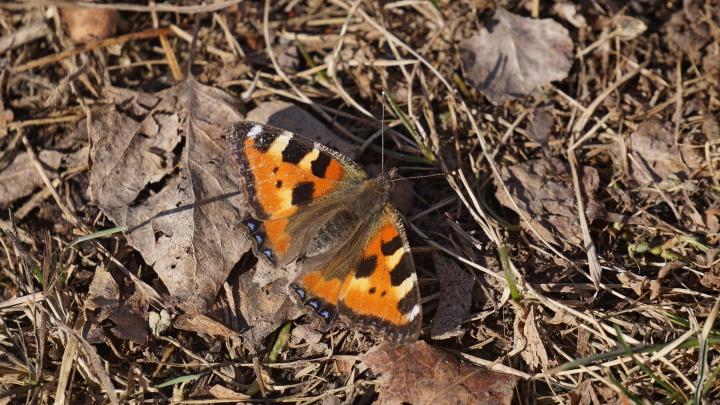 В заповеднике на юге края рекордно рано проснулись бабочки-крапивницы