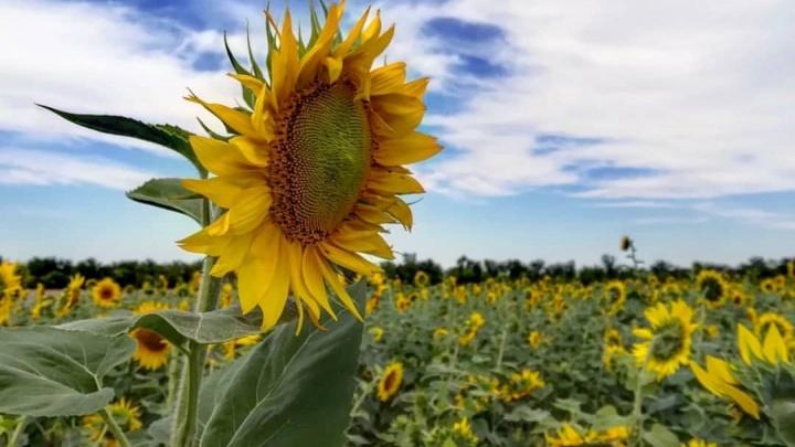 Цвет настроения желтый: в Волгоградской области распустились сотни подсолнухов