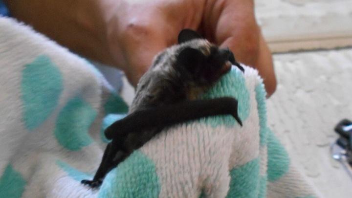 Тюменские спасатели охотились на летучую мышь, залетевшую в квартиру
