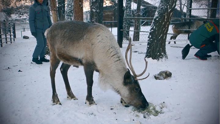 Оленям из «Роева ручья» приготовили леденцы из ягеля и закопали их в снег