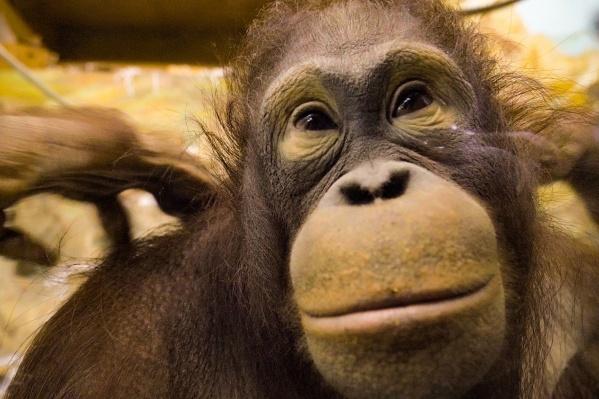 Орангутан Бату и его возлюбленная Мишель теперь вместе живут в новосибирском зоопарке