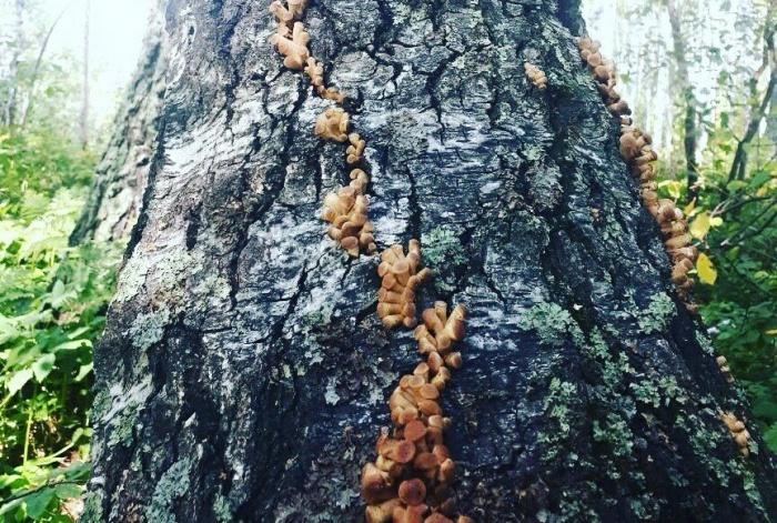 В МЧС обеспокоились массовыми походами новосибирцев в лес за грибами