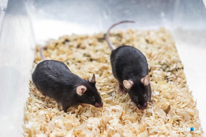 На чёрных мышах, как правило, изучают онкологические болезни. У этих блэков красивые округлые уши, как у Микки Мауса
