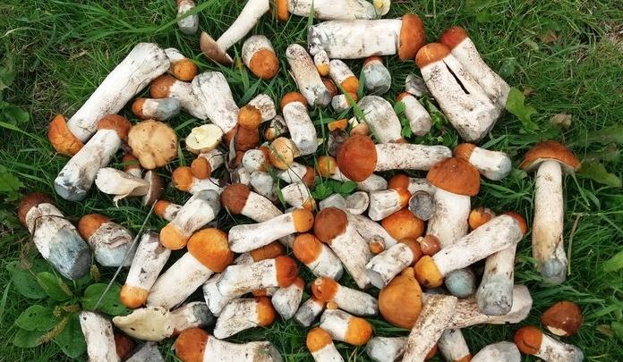 «Массово полезли красноголовики»: смотрим, что притащили из лесов уральцы