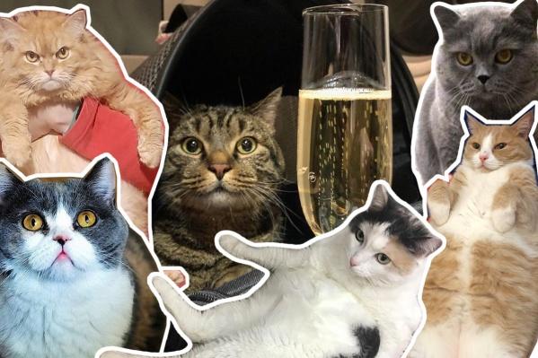 Толстенькие новосибирские коты поддержали кота Виктора, которого сотрудники авиакомпании хотели сдать в багаж из-за большого веса