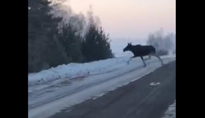 В Башкирии на видео случайно попали лось с лосихой