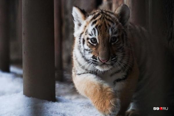 Из тигрят самая шустрая — девочка