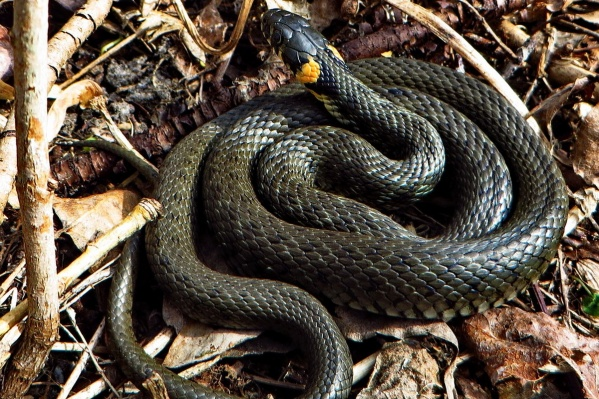 Уж обыкновенный. Такие змеи обитают на «Столбах», и они безобидны для человека