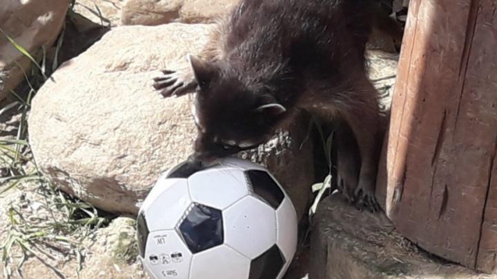 В ярославском зоопарке устроили звериный чемпионат по футболу