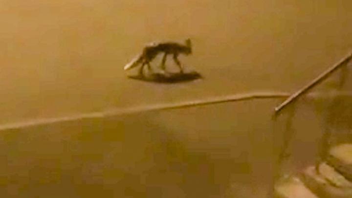 Опасная гостья: по жилому комплексу рядом с Нижним Новгородом вечерами разгуливает лисица