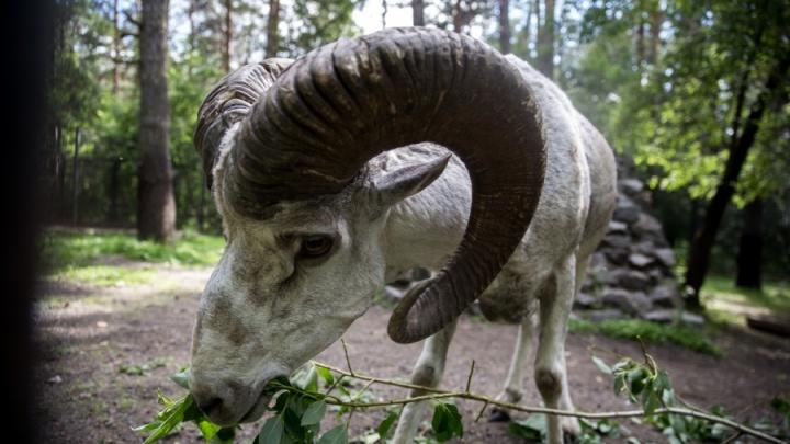 Выпущенные на волю новосибирские бараны нашли себе диких друзей