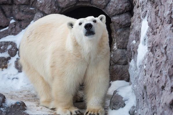 Сейчас зоологи пытаются собрать анализы на гормоны у медведицы, чтобы убедиться, что она беременна