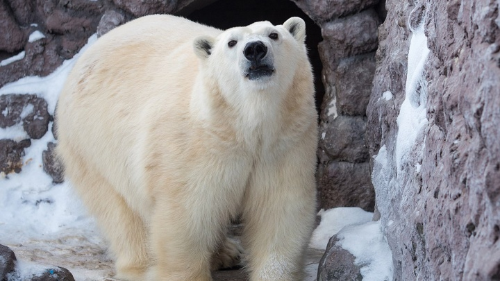 Белой медведице Авроре достроили берлогу с видеонаблюдением в ожидании потомства