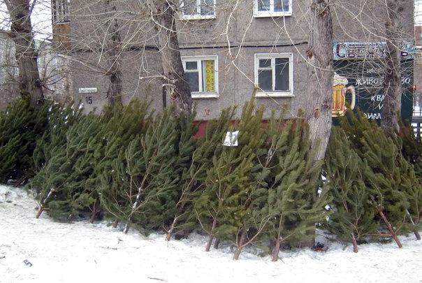 Ёлки и сосны в лесах начали охранять от вырубки перед Новым годом