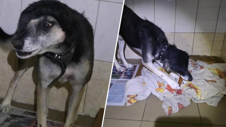 В августе ветеринары пересадили кожу псу с шеи на голову. Посмотрите, как он выглядит сейчас!