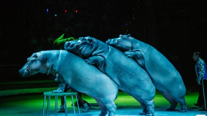 Тяжеловесы в городе: на манеж челябинского цирка выйдут три огромных африканских бегемота