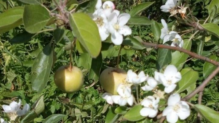 Из-за холодного лета на Урале аномалия: в августе зацвели яблони