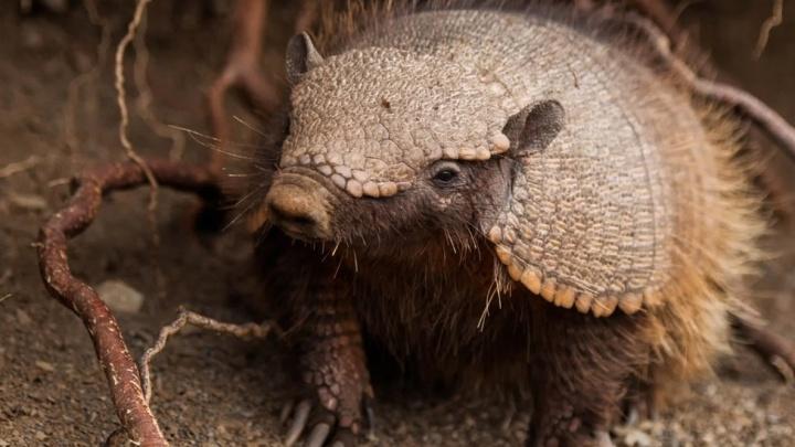 В Ярославском зоопарке новый обитатель — броненосец: когда его покажут