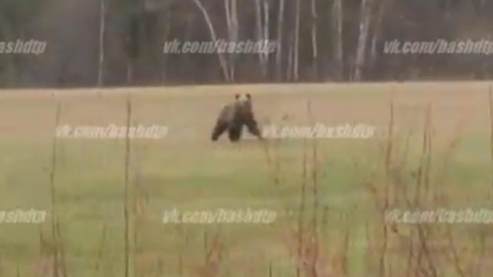 Бурзянский медведь позировал водителю из Башкирии