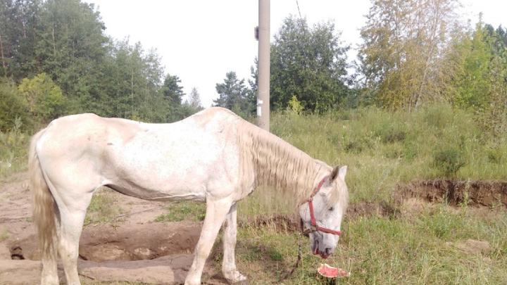«Худая, вся в коростах, еле ходит»: пермяки обеспокоены судьбой лошади, которая скитается по городу