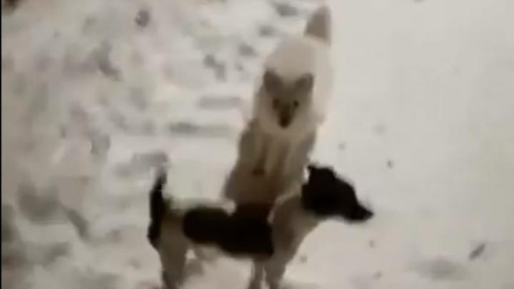 Озорной песец устроил игру с собакой в Норильске