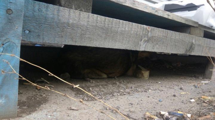 Собака угодила в охотничий капкан и скрывается от желающих помочь под деревянным тротуаром