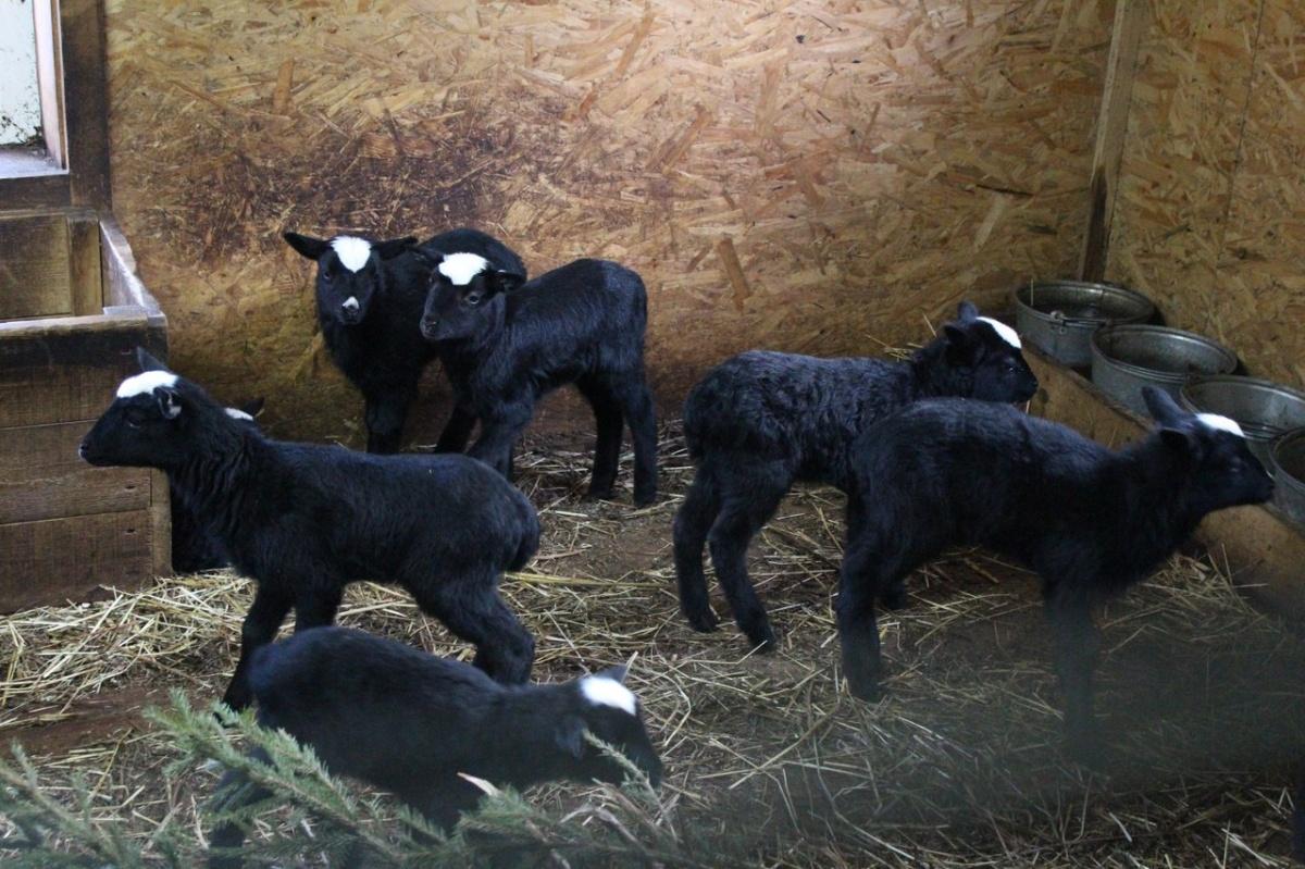 Альпака, два капуцина и20 ягнят родились зимой внижегородском зоопарке «Лимпопо»