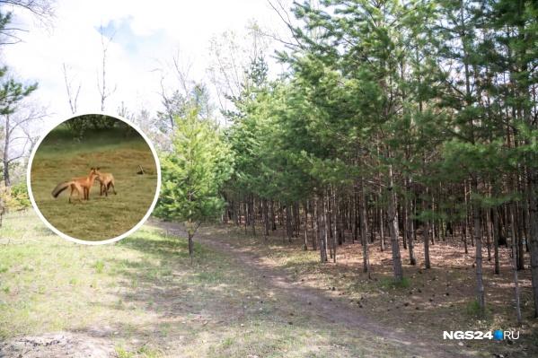 Семейство лис уже много лет живет на острове Татышев
