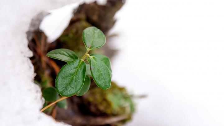 В Новосибирске появилась первая зелёная трава