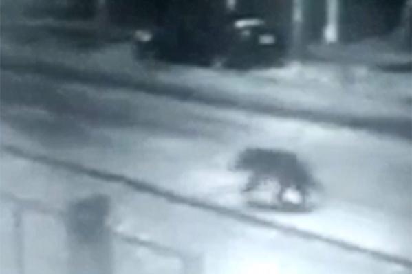Прогулку медведя сняли камеры наружного наблюдения