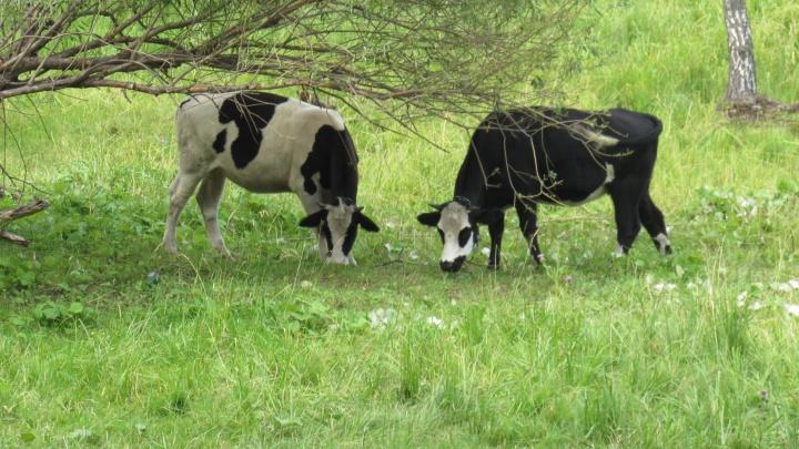 Ящур и птичий грипп: к каким заболеваниям животных готовится Курганская область