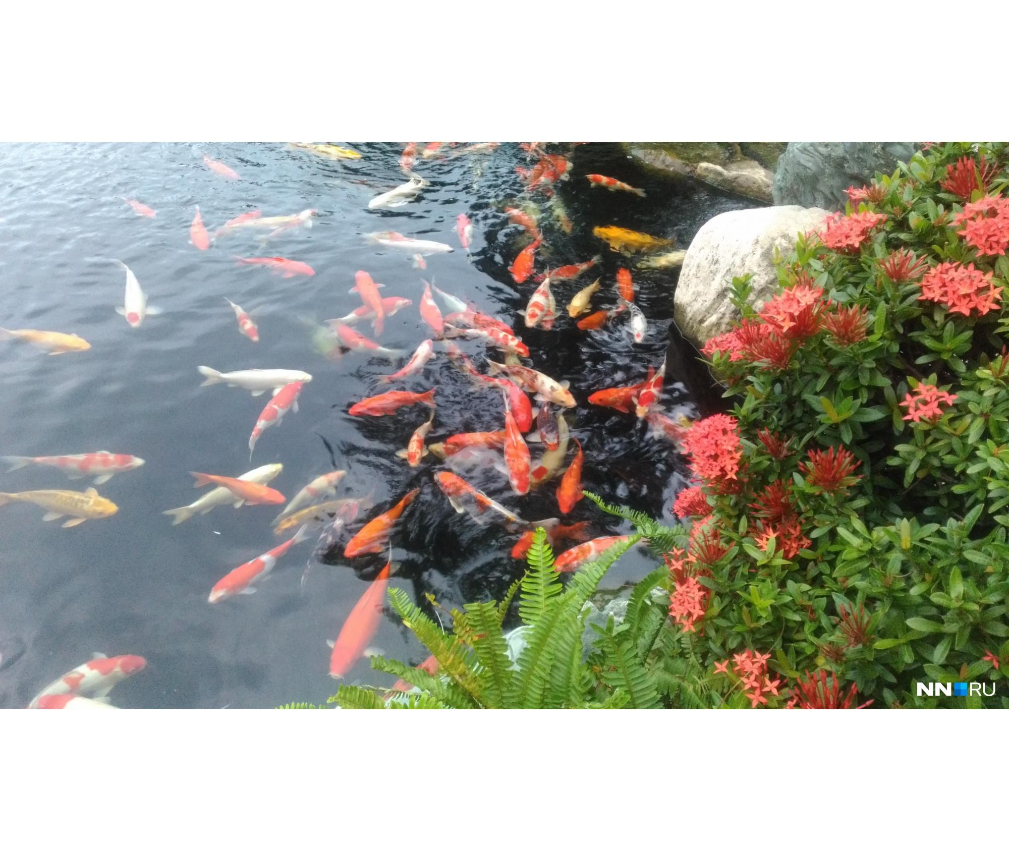 Карпы во Вьетнаме плавают «в любой луже»<br>