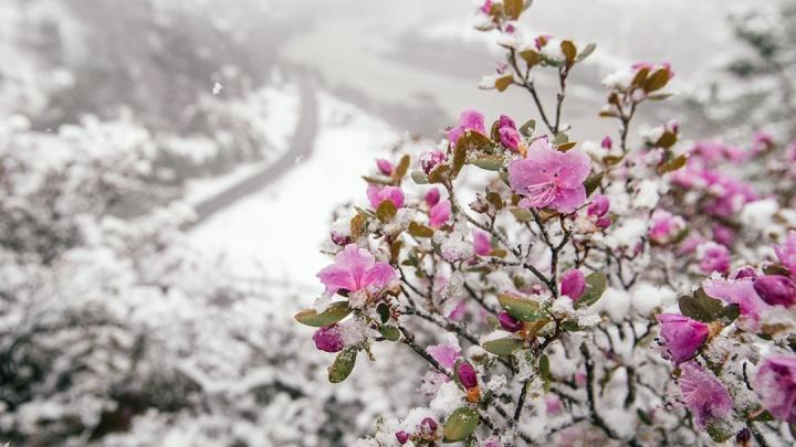 На Алтае под снегом зацвели розовые цветы— фотографы из Новосибирска запечатлели эту красоту