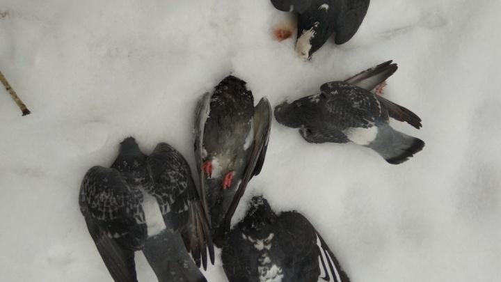 «Из клюва вытекает серо-зелёная жижа»: на Красрабе голуби массово падают на землю и умирают
