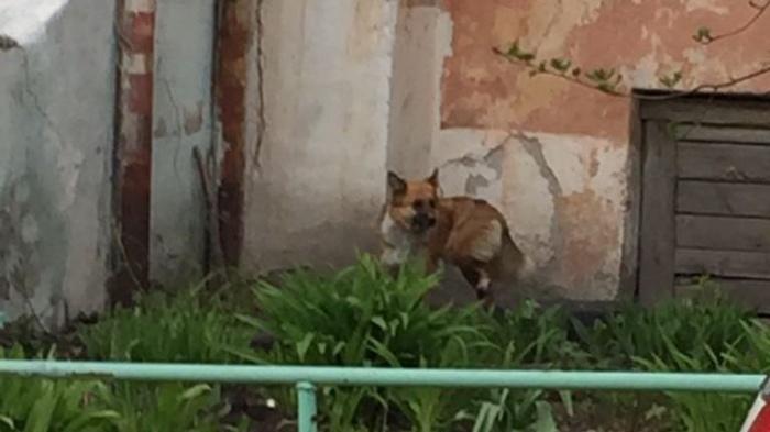 Собака сбежала от зоозащитников, несмотря на то, что ей оторвало капканом лапу