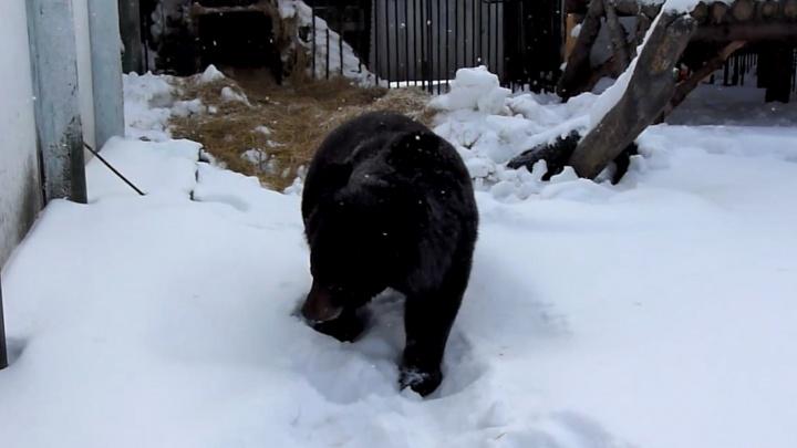 В Большереченском зоопарке проснулся первый медведь — он очень заторможенный