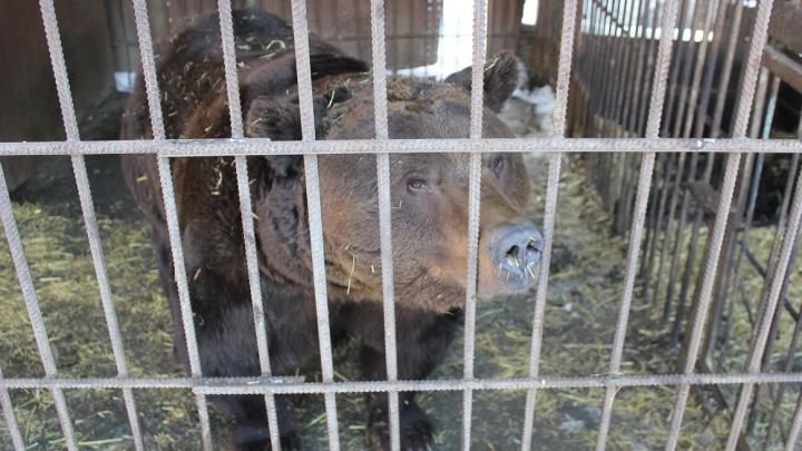 В Омске медведь откусил руку мужчине, который хотел его покормить