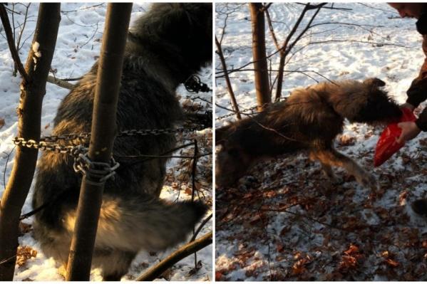 Прежний хозяин приковал собаку к дереву и ушел